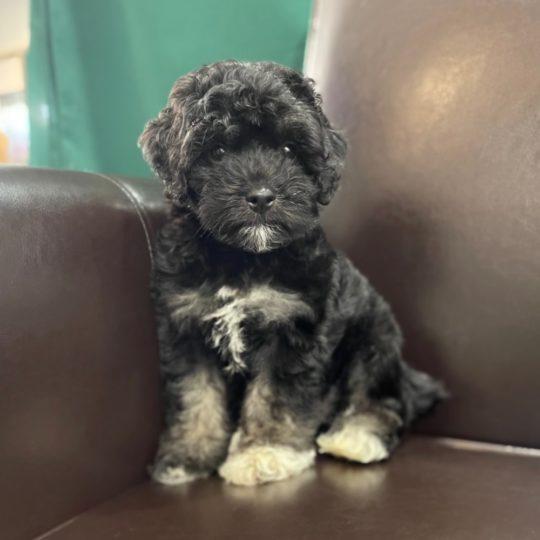 F1b Cockapoo Puppy for Sale